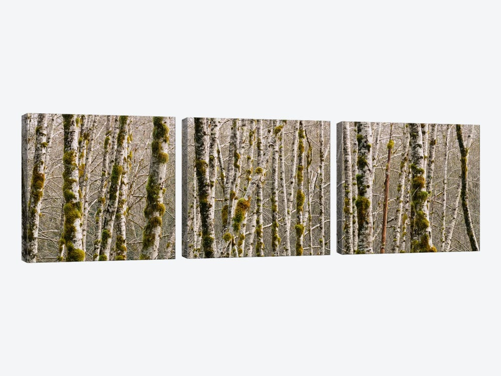 Trees in the forest, Red Alder Tree, Olympic National Park, Washington State, USA by Panoramic Images 3-piece Canvas Art Print