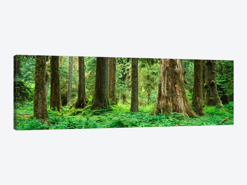 Trees in a rainforest, Hoh Rainforest, Olympic National Park, Washington State, USA by Panoramic Images 1-piece Canvas Print