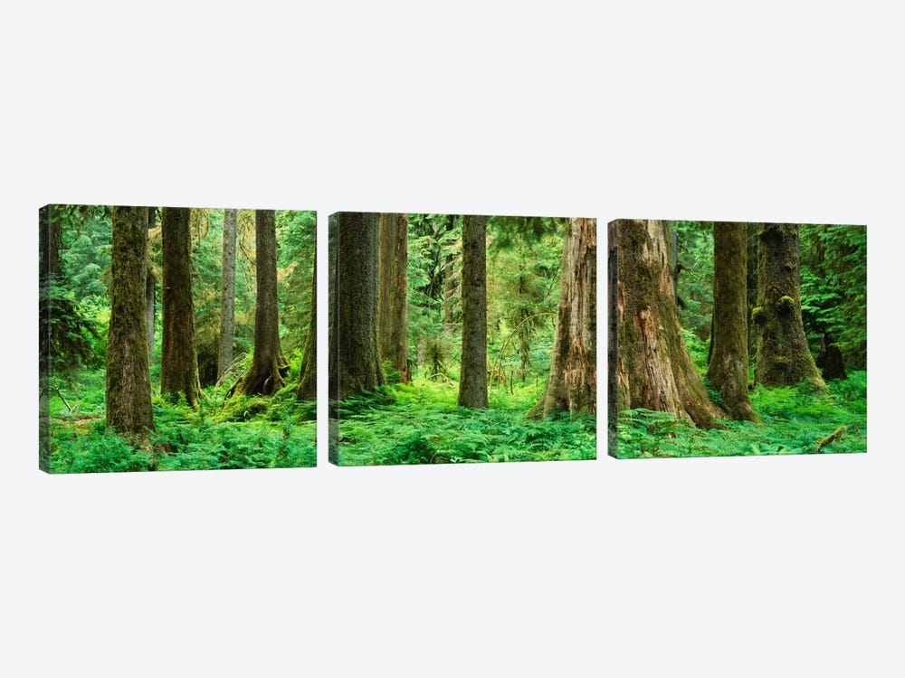 Trees in a rainforest, Hoh Rainforest, Olympic National Park, Washington State, USA by Panoramic Images 3-piece Canvas Art Print