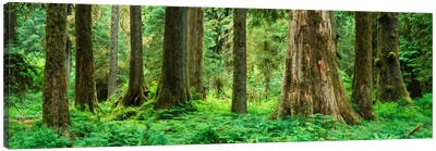 Trees in a rainforest, Hoh Rainforest, Olympic National Park, Washington State, USA Canvas Art Print
