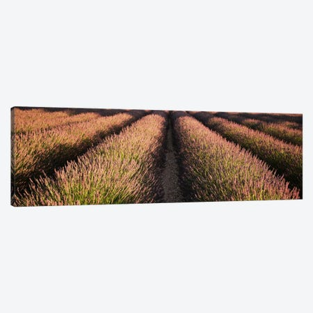 Rows Lavender Field, Pays De Sault Provence, France Canvas Print #PIM1901} by Panoramic Images Canvas Artwork