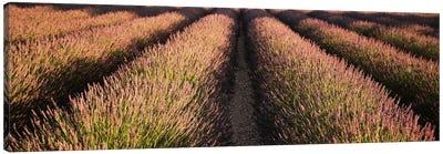 Rows Lavender Field, Pays De Sault Provence, France Canvas Print #PIM1901