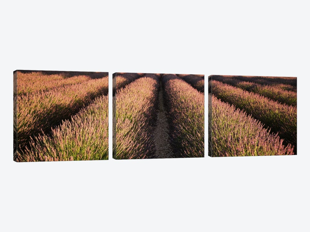 Rows Lavender Field, Pays De Sault Provence, France by Panoramic Images 3-piece Canvas Print