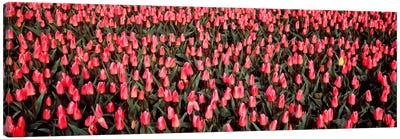 Tulips, Noordbeemster, Netherlands Canvas Art Print