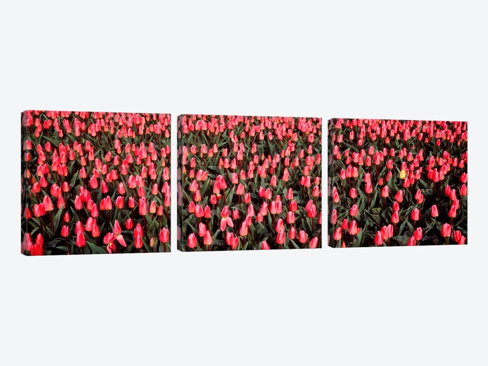 Tulips, Noordbeemster, Netherlands by Panoramic Images 3-piece Art Print