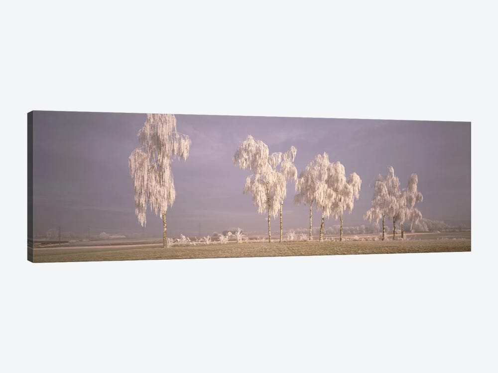 Birch Trees w\ rime Switzerland by Panoramic Images 1-piece Canvas Wall Art