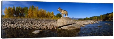 Wolf standing on a rock at the riverbankUS Glacier National Park, Montana, USA Canvas Art Print