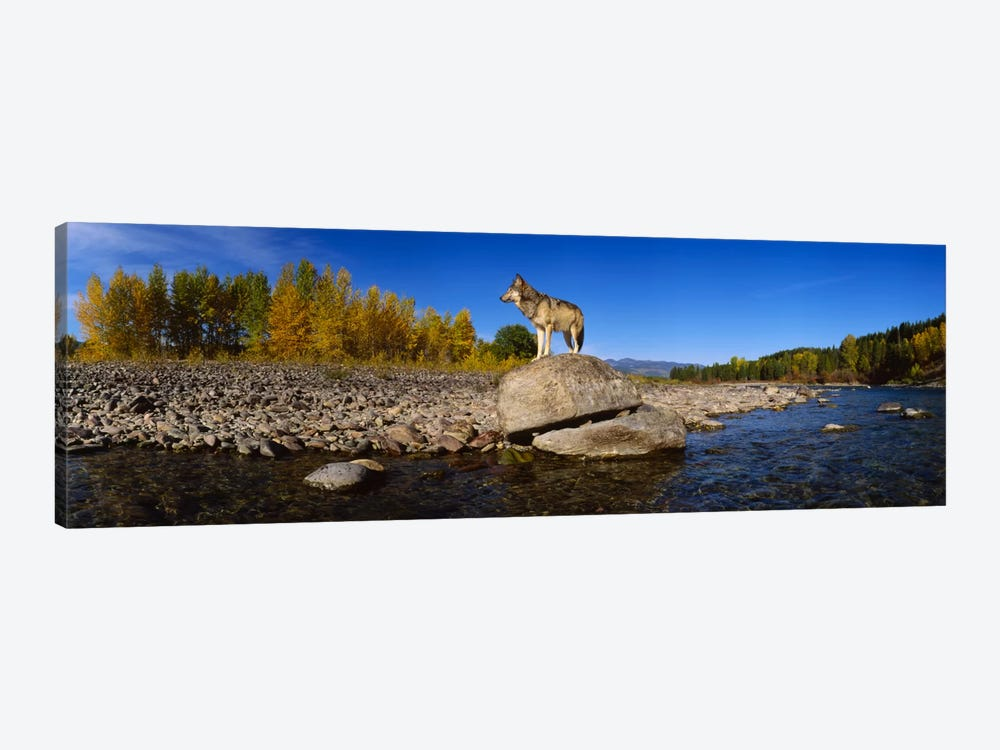 Wolf standing on a rock at the riverbankUS Glacier National Park, Montana, USA by Panoramic Images 1-piece Canvas Artwork