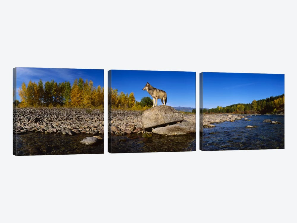 Wolf standing on a rock at the riverbankUS Glacier National Park, Montana, USA by Panoramic Images 3-piece Canvas Art