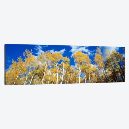 Low-Angle View Of Aspen Trees, Uncompahgre Nationa Forest, Colorado, USA Canvas Print #PIM205} by Panoramic Images Canvas Art Print