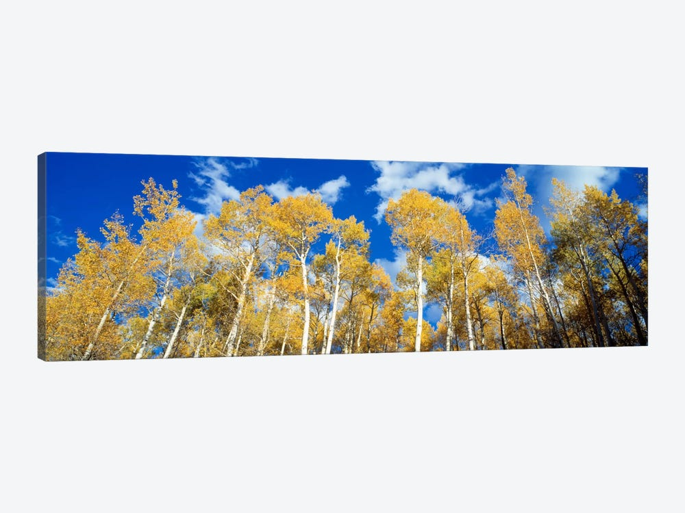 Low-Angle View Of Aspen Trees, Uncompahgre Nationa Forest, Colorado, USA by Panoramic Images 1-piece Canvas Art