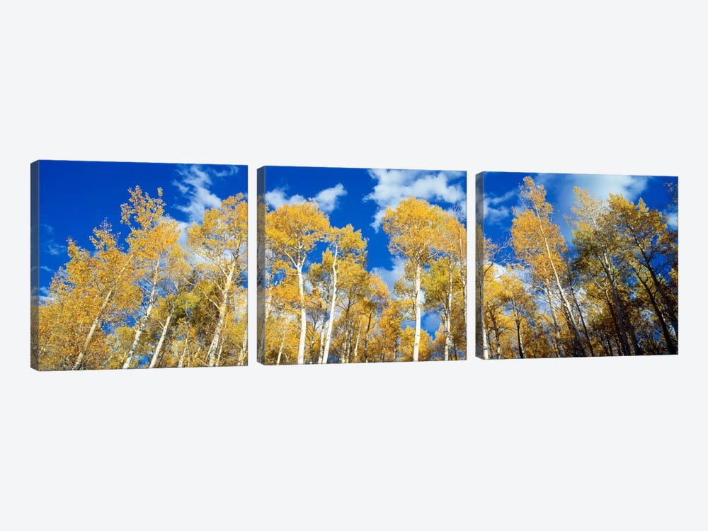 Low-Angle View Of Aspen Trees, Uncompahgre Nationa Forest, Colorado, USA by Panoramic Images 3-piece Canvas Artwork