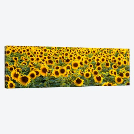 Sunflowers (Helianthus annuus) in a field, Bouches-Du-Rhone, Provence, France Canvas Print #PIM2084} by Panoramic Images Canvas Wall Art