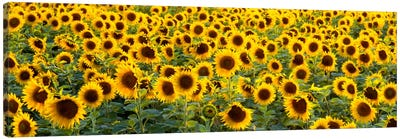 Sunflowers (Helianthus annuus) in a field, Bouches-Du-Rhone, Provence, France Canvas Art Print