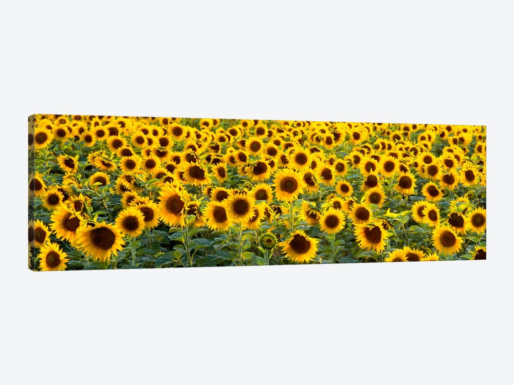 Sunflowers (Helianthus annuus) in a field, Bouches-Du-Rhone, Provence, France by Panoramic Images 1-piece Canvas Artwork