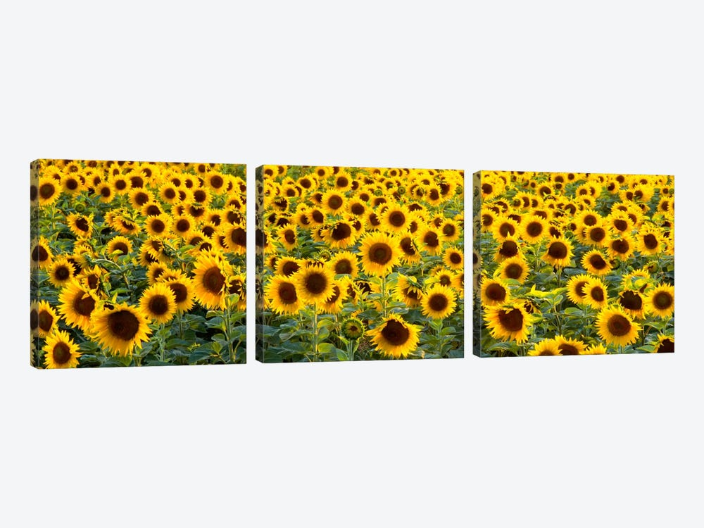 Sunflowers (Helianthus annuus) in a field, Bouches-Du-Rhone, Provence, France by Panoramic Images 3-piece Canvas Artwork