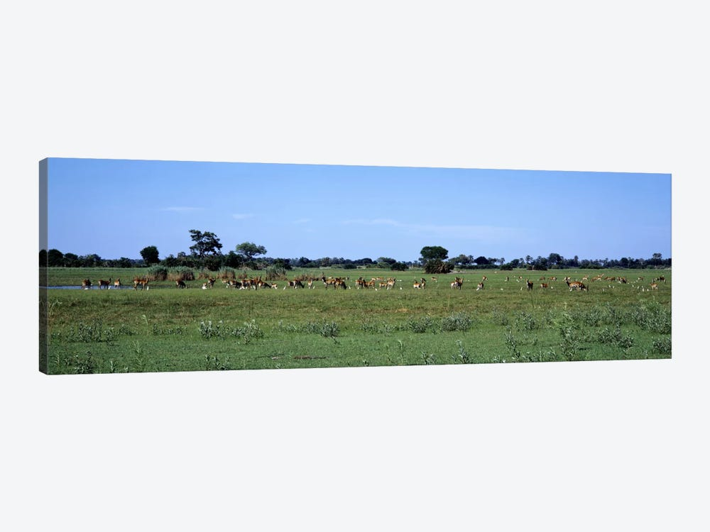 Red Lechwee Moremi Game Reserve Botswana Africa by Panoramic Images 1-piece Canvas Artwork