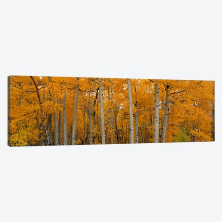Quaking Aspens Dixie National Forest UT Canvas Print #PIM2257} by Panoramic Images Canvas Print