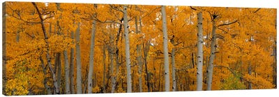 Quaking Aspens Dixie National Forest UT Canvas Print #PIM2257