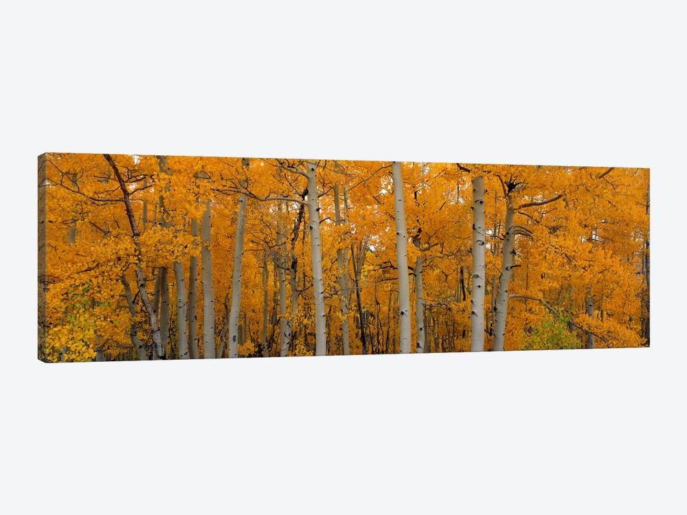 Quaking Aspens Dixie National Forest UT by Panoramic Images 1-piece Canvas Art Print
