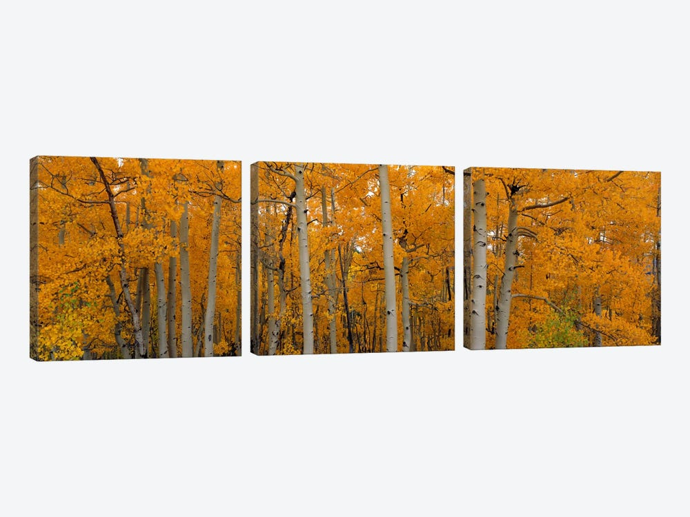 Quaking Aspens Dixie National Forest UT by Panoramic Images 3-piece Art Print