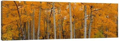 Quaking Aspens Dixie National Forest UT Canvas Art Print