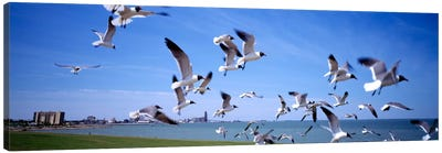 Flock of seagulls flying on the beach, New York State, USA Canvas Print #PIM2273