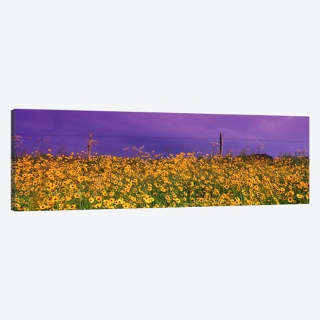 Tickseed (Coreopsis) Meadow Along A Fence, Texas, USA Canvas Print #PIM2311} by Panoramic Images Canvas Print