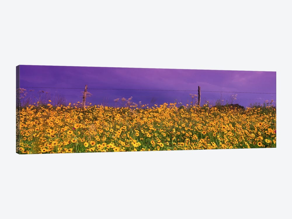 Tickseed (Coreopsis) Meadow Along A Fence, Texas, USA by Panoramic Images 1-piece Canvas Artwork