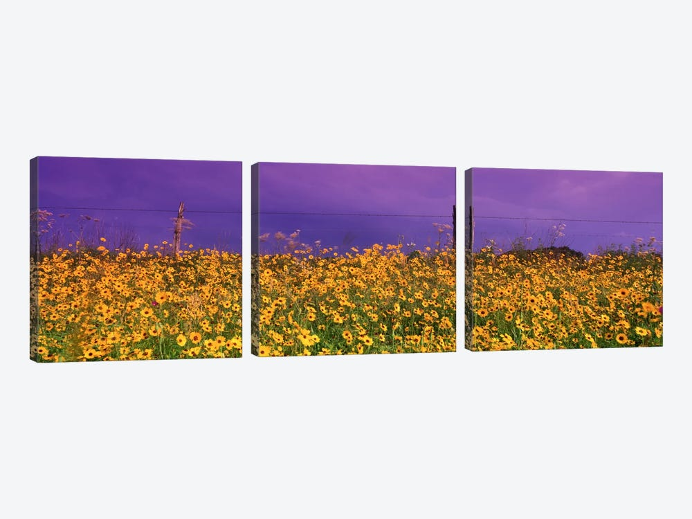 Tickseed (Coreopsis) Meadow Along A Fence, Texas, USA by Panoramic Images 3-piece Canvas Wall Art