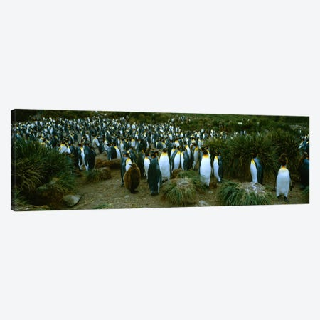 High angle view of a colony of King penguins, Royal Bay, South Georgia Island, Antarctica Canvas Print #PIM234} by Panoramic Images Canvas Artwork