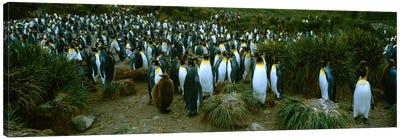 High angle view of a colony of King penguins, Royal Bay, South Georgia Island, Antarctica Canvas Print #PIM234