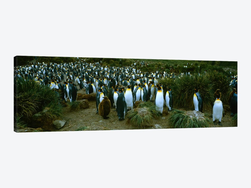 High angle view of a colony of King penguins, Royal Bay, South Georgia Island, Antarctica by Panoramic Images 1-piece Canvas Wall Art