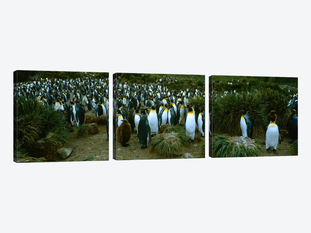 High angle view of a colony of King penguins, Royal Bay, South Georgia Island, Antarctica by Panoramic Images 3-piece Canvas Wall Art