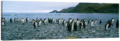 Colony of King penguins on the beach, South Georgia Island, Antarctica Canvas Art Print