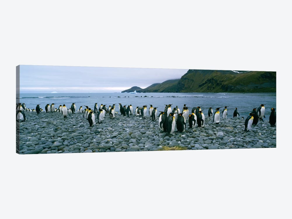 Colony of King penguins on the beach, South Georgia Island, Antarctica by Panoramic Images 1-piece Canvas Art Print