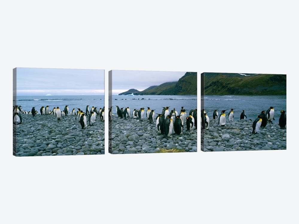 Colony of King penguins on the beach, South Georgia Island, Antarctica by Panoramic Images 3-piece Art Print