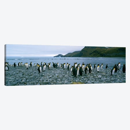 Colony of King penguins on the beach, South Georgia Island, Antarctica Canvas Print #PIM235} by Panoramic Images Canvas Wall Art
