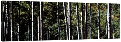 White Aspen Tree Trunks CO USA Canvas Art Print