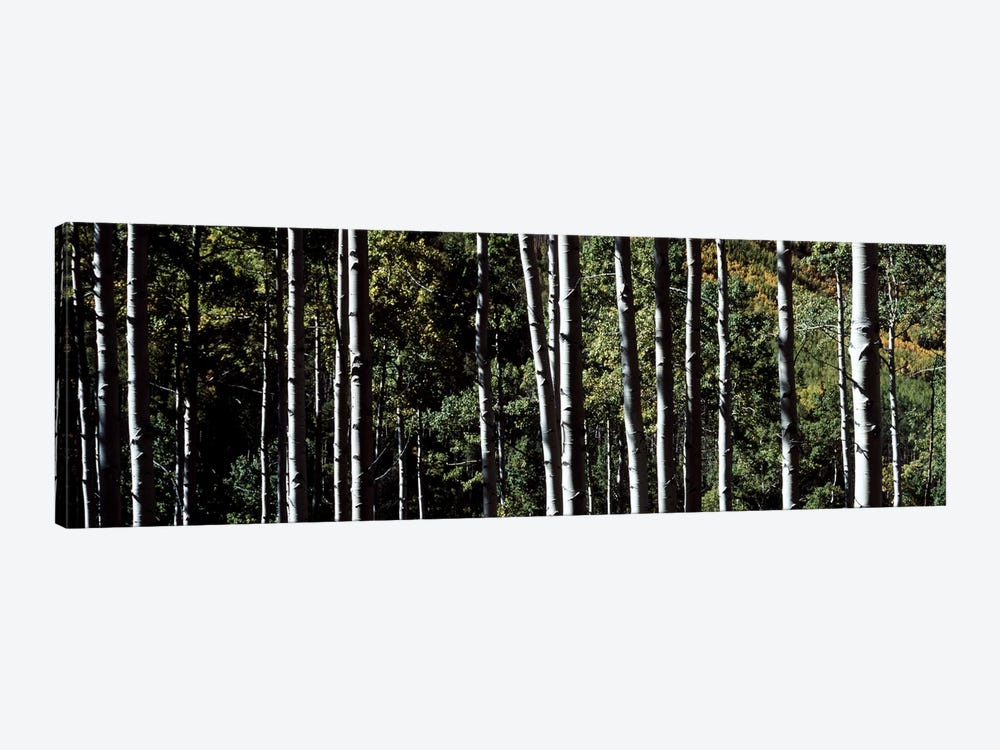White Aspen Tree Trunks CO USA by Panoramic Images 1-piece Canvas Artwork