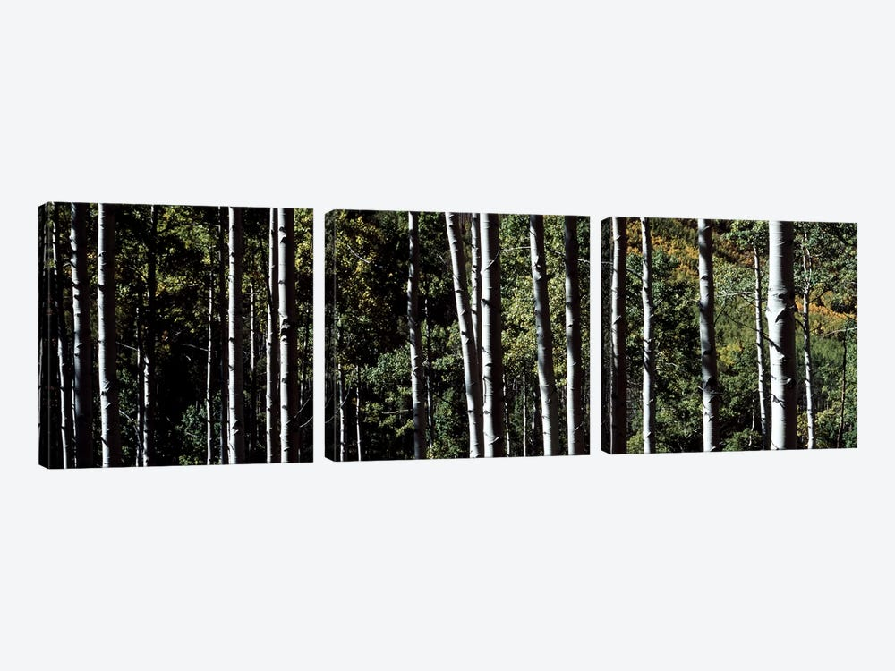 White Aspen Tree Trunks CO USA by Panoramic Images 3-piece Canvas Artwork