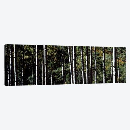 White Aspen Tree Trunks CO USA Canvas Print #PIM2373} by Panoramic Images Art Print