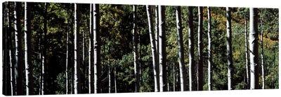 White Aspen Tree Trunks CO USA Canvas Art Print