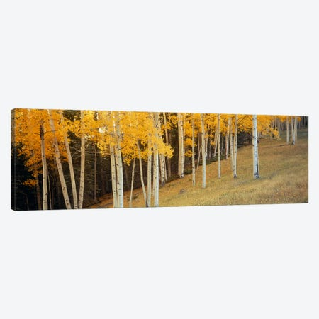Aspen trees in a field, Ouray County, Colorado, USA Canvas Print #PIM2374} by Panoramic Images Canvas Wall Art
