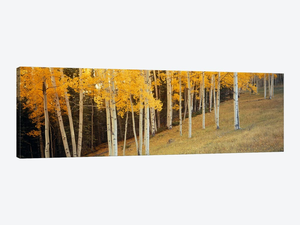 Aspen trees in a field, Ouray County, Colorado, USA by Panoramic Images 1-piece Canvas Art Print
