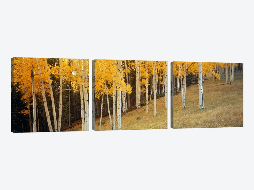 Aspen trees in a field, Ouray County, Colorado, USA by Panoramic Images 3-piece Canvas Print