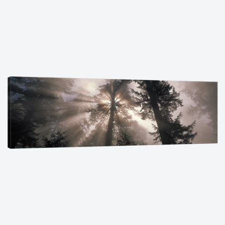 Trees Redwood National Park, California, USA Canvas Print #PIM2376} by Panoramic Images Canvas Artwork