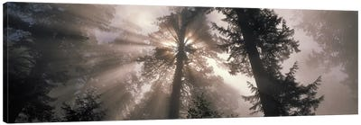 Trees Redwood National Park, California, USA Canvas Print #PIM2376