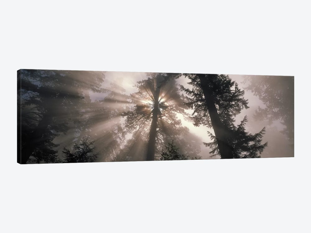 Trees Redwood National Park, California, USA by Panoramic Images 1-piece Canvas Print