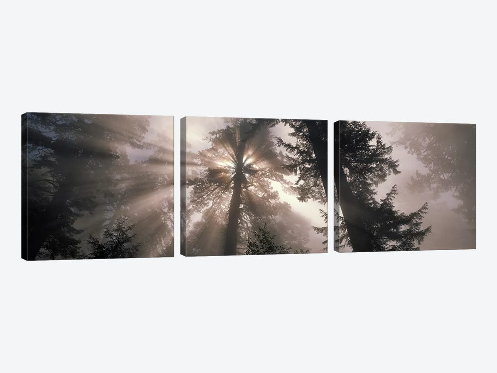 Trees Redwood National Park, California, USA by Panoramic Images 3-piece Canvas Print